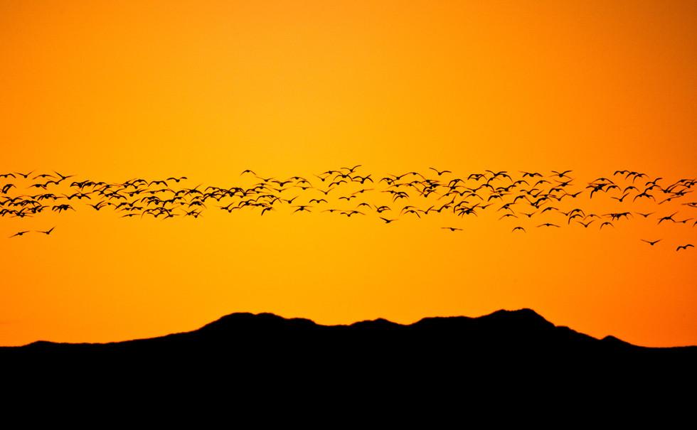 Snow Geese at Dawn.jpg