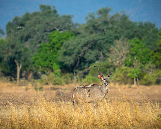 Kudu and Oxpeckers.jpg
