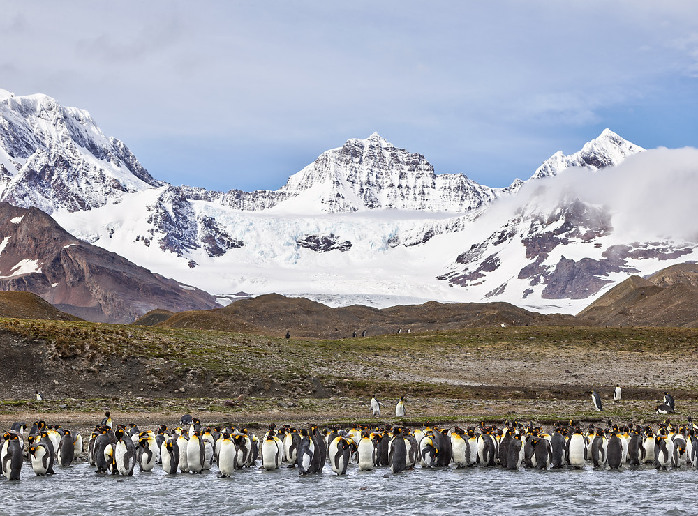 king penguins by a stream