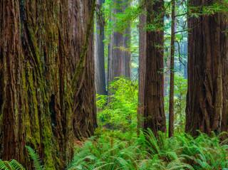 Redwoods and Ferns.jpg