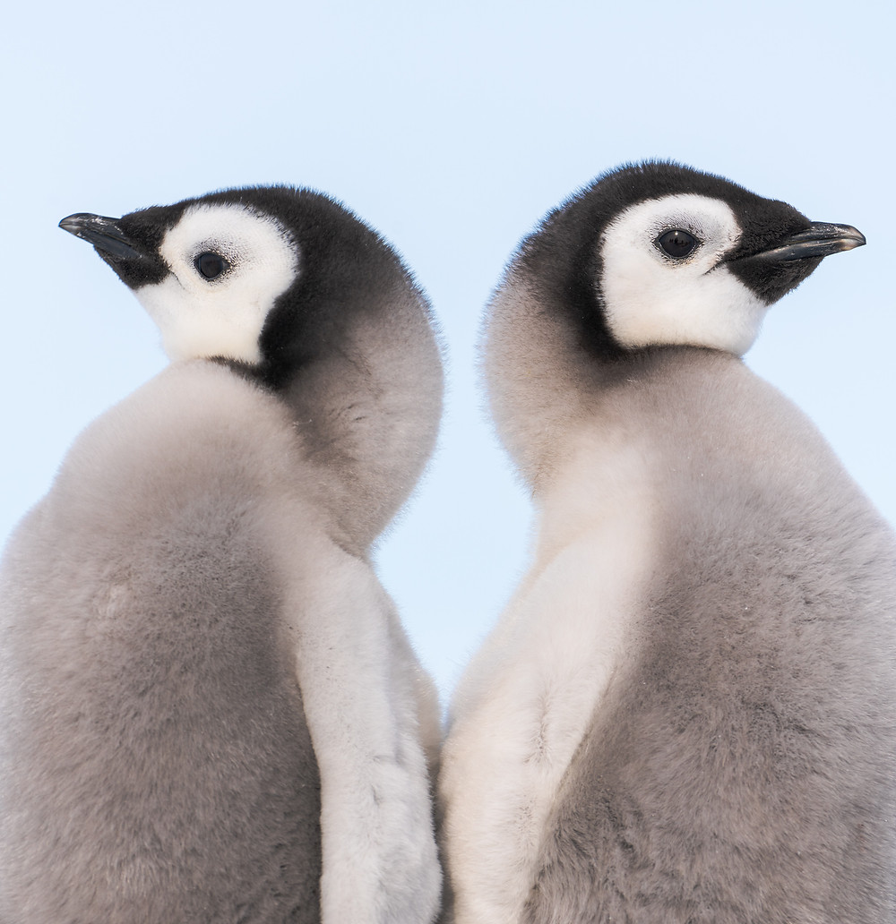 two emperor penguin chicks stand back to back