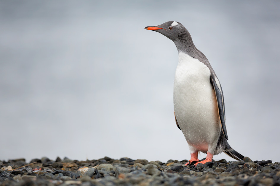 Gentoo Penguin at Undine Harbour.jpg