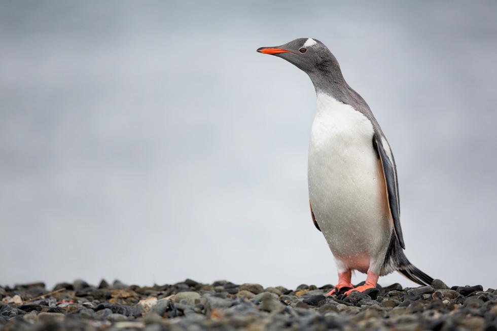 Gentoo Penguin at Undine Harbour.jpg