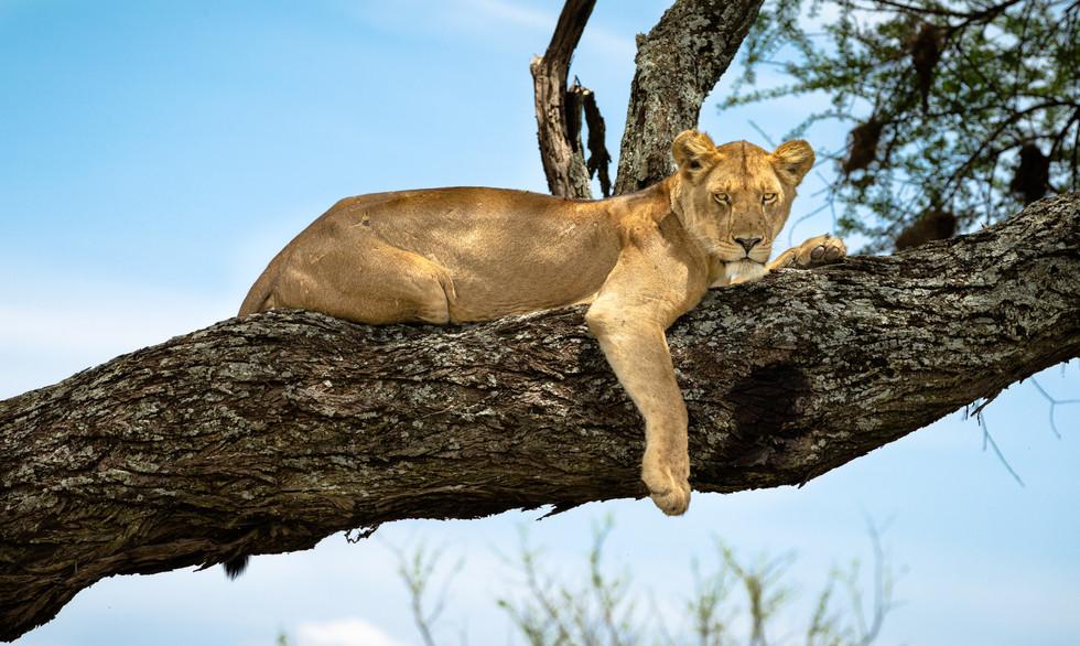 Lioness Stare - Serengeti National Park.jpg