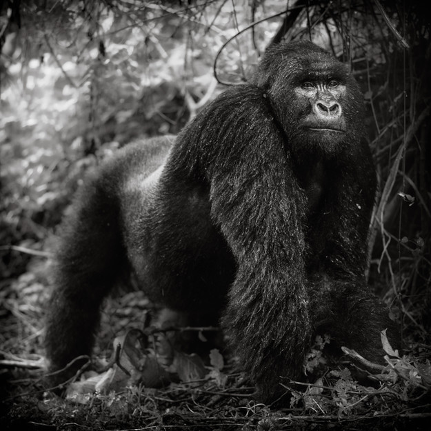 Silverback Mountain Gorilla.jpg
