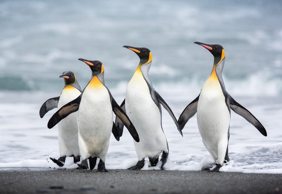 Penguin Posse-2.jpg