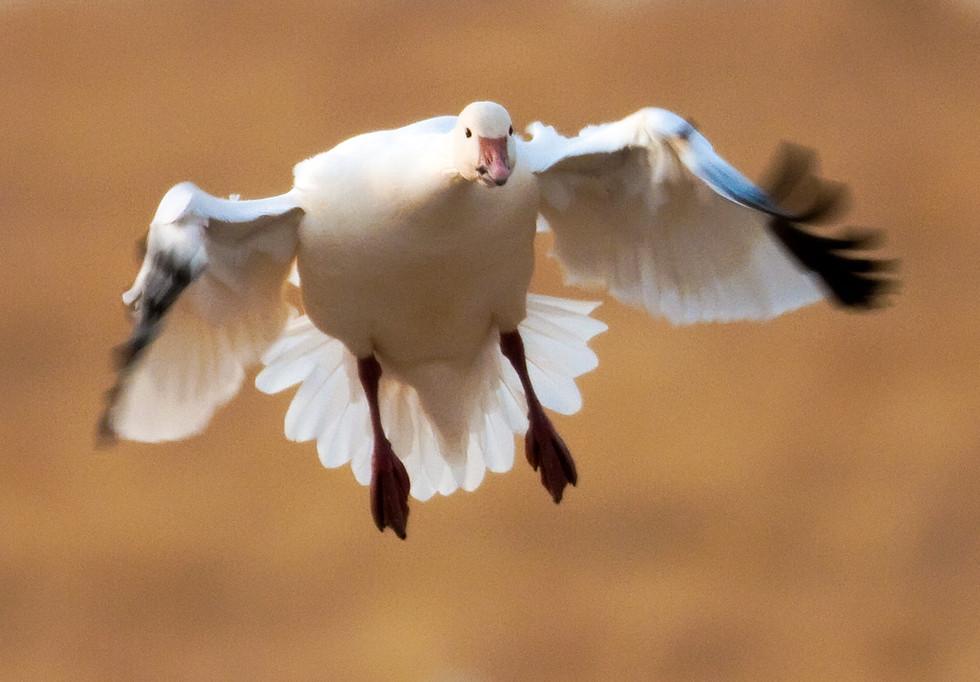 Snow Goose.jpg