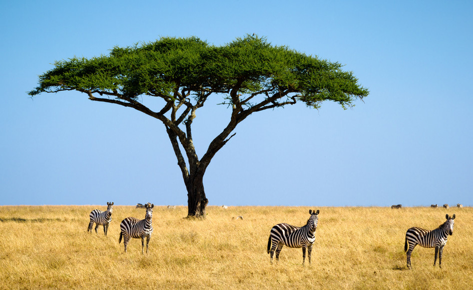 Zebras on the Serengeti.jpg