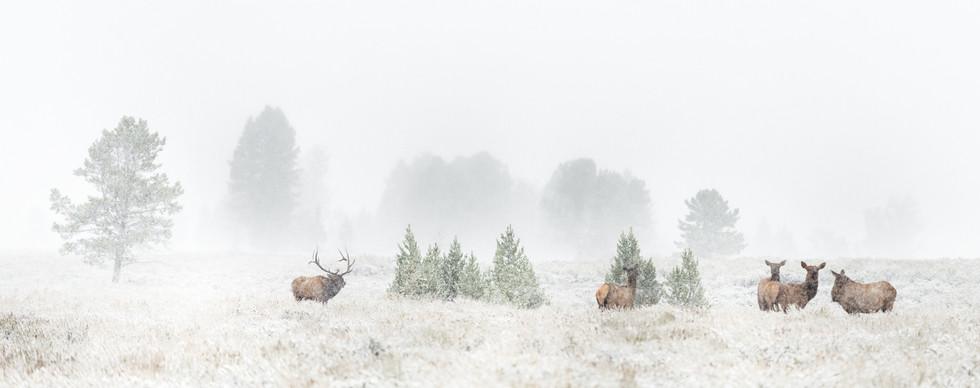 Elk Herd in Snow.jpg