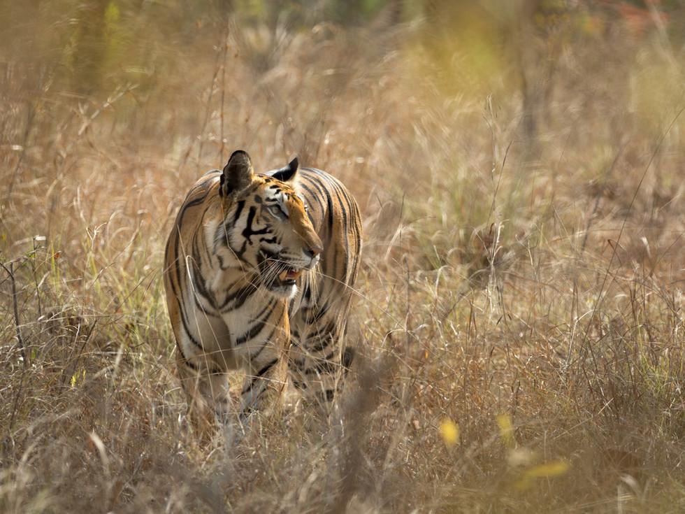 Tiger Visions.jpg