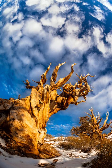Bristlecone Under A Cloudy Sky.jpg
