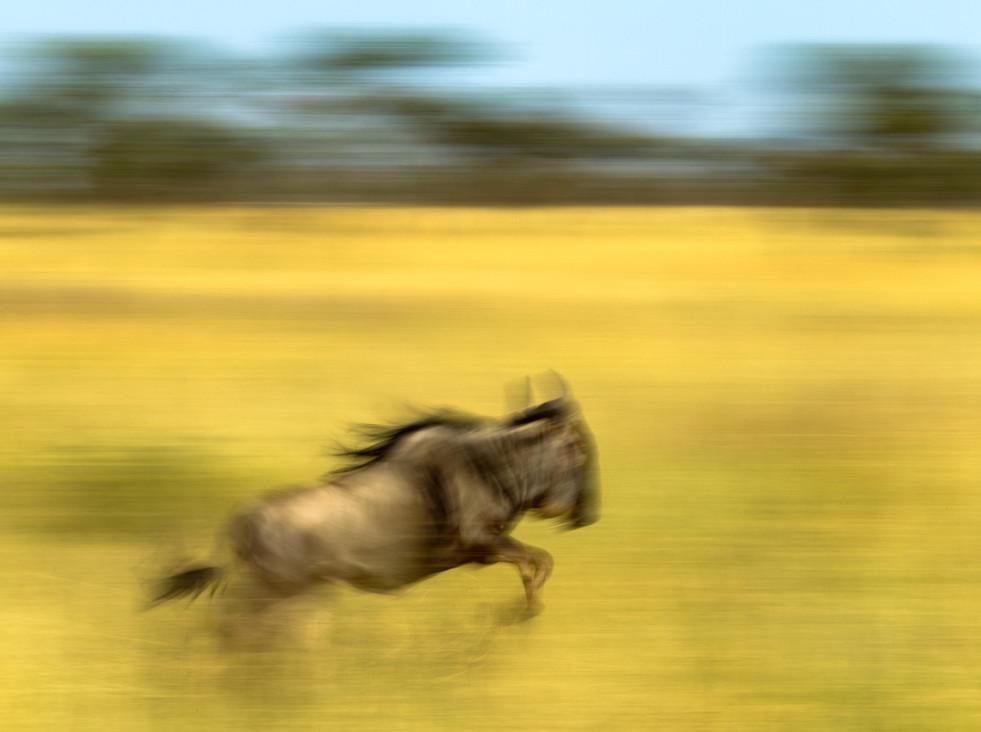 Wildebeest Jump.jpg