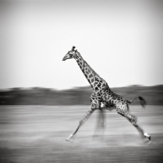 Running Giraffe.jpg