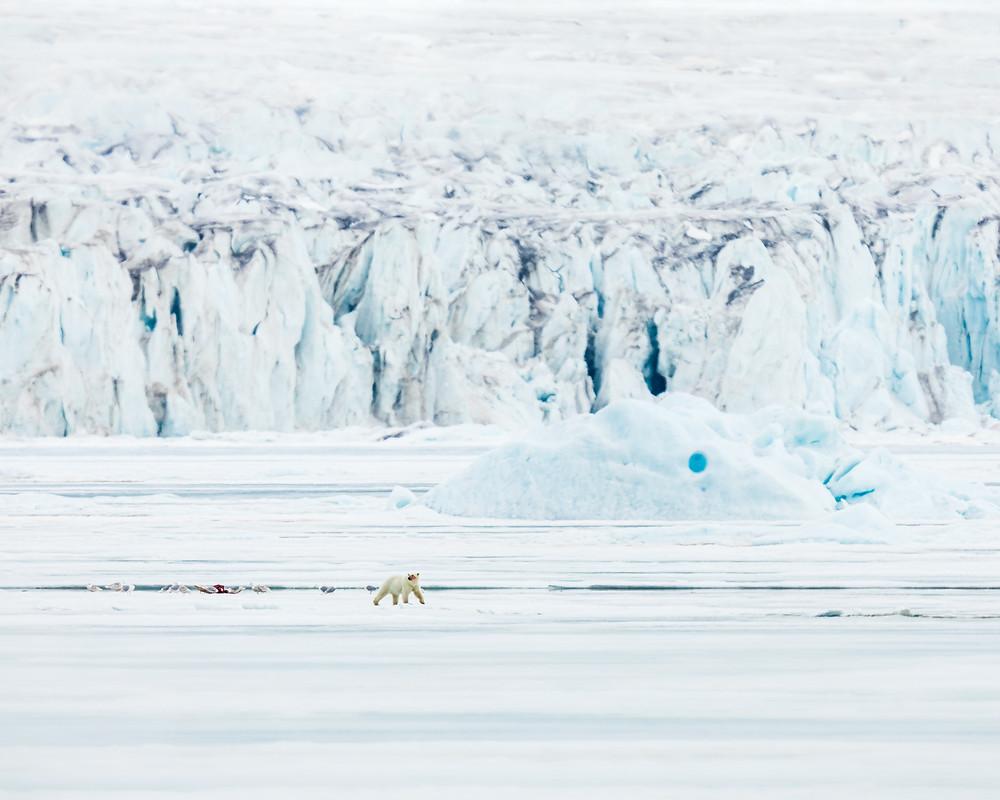 a polar bear far away walks away