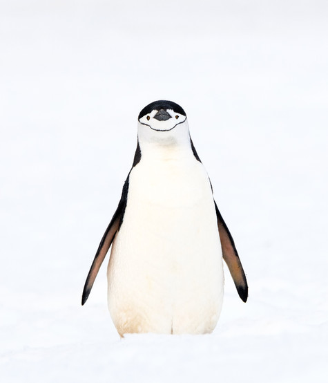 Chinstrap_Penguin_•_Robert_Point.jpg