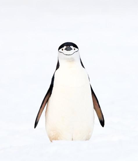 Chinstrap_Penguin_•_Robert_Point.jpg