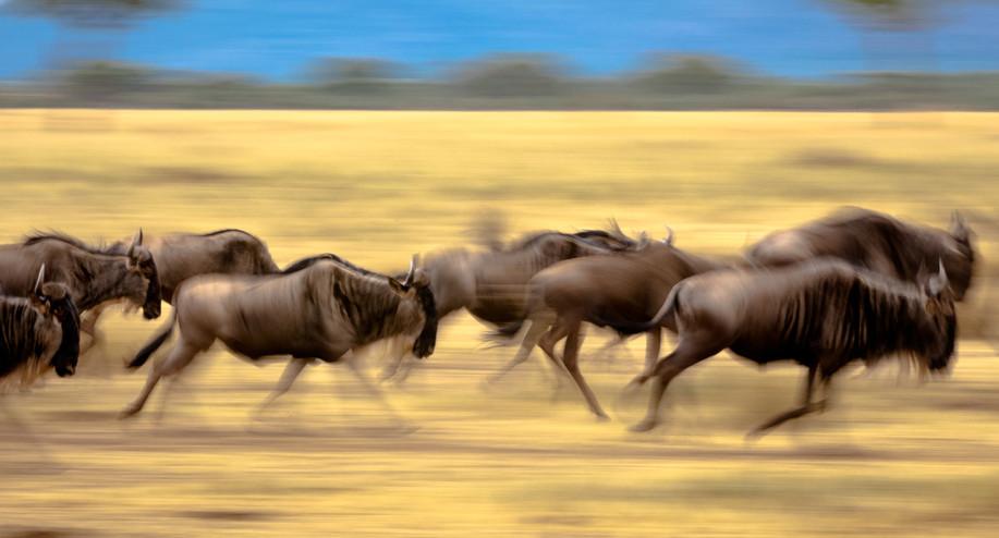 Wildebeast Run - Serengeti National Park.jpg