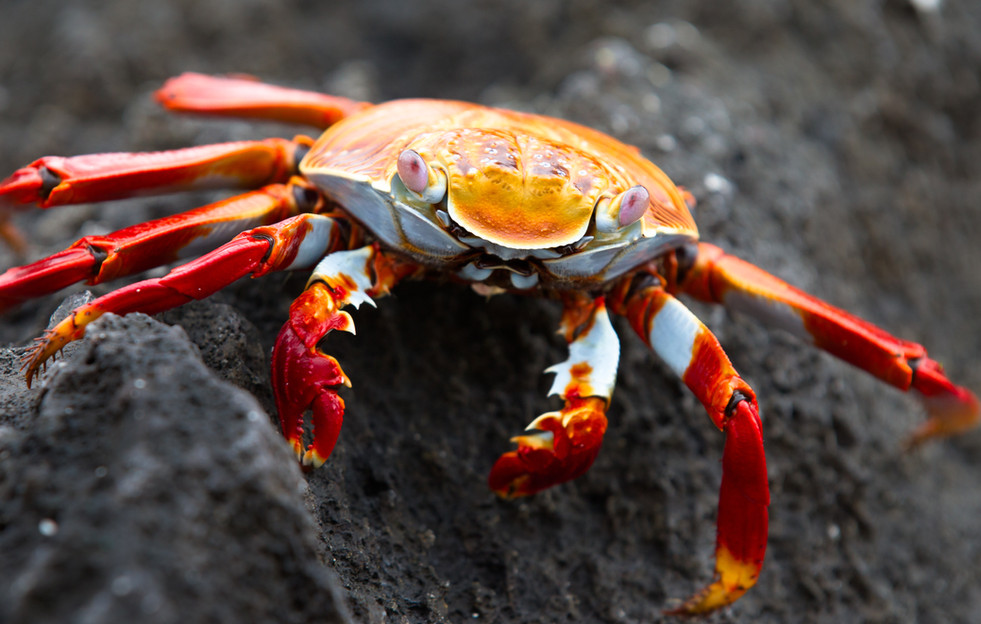 Sally Lightfoot Crab-2.jpg