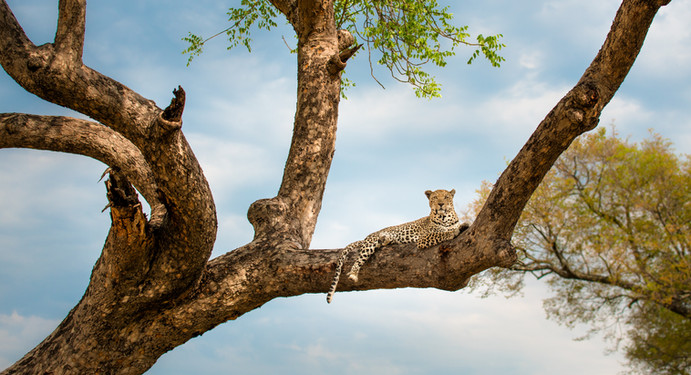 Leopard and his Tree.jpg