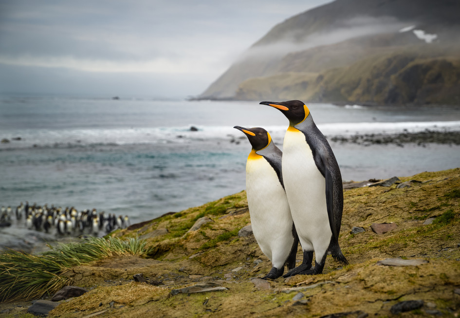 King_Penguin_Pair_•_Gold_Harbour.jpg