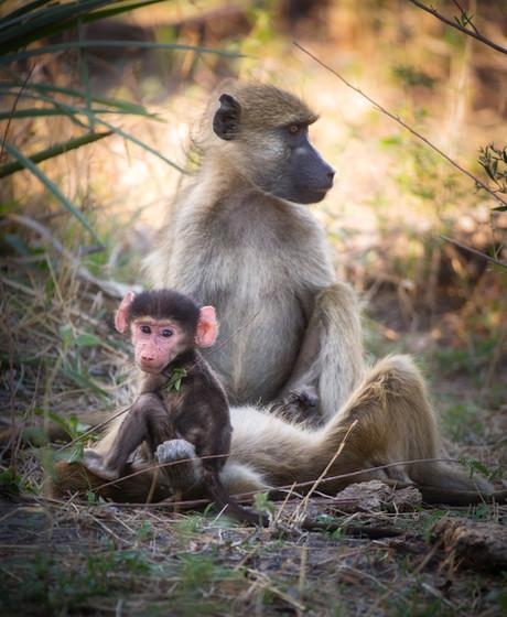 Chillin' Baboons.jpg