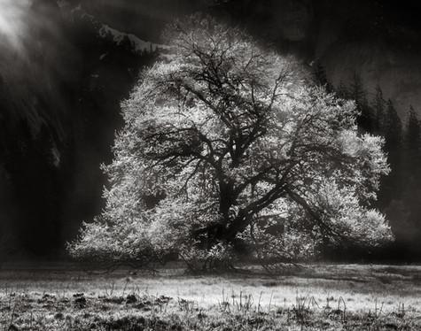 Black Oak under Half Dome.jpg