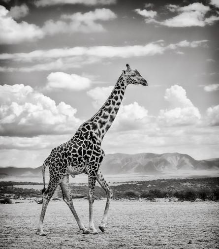 Giraffe on the Serengeti.jpg