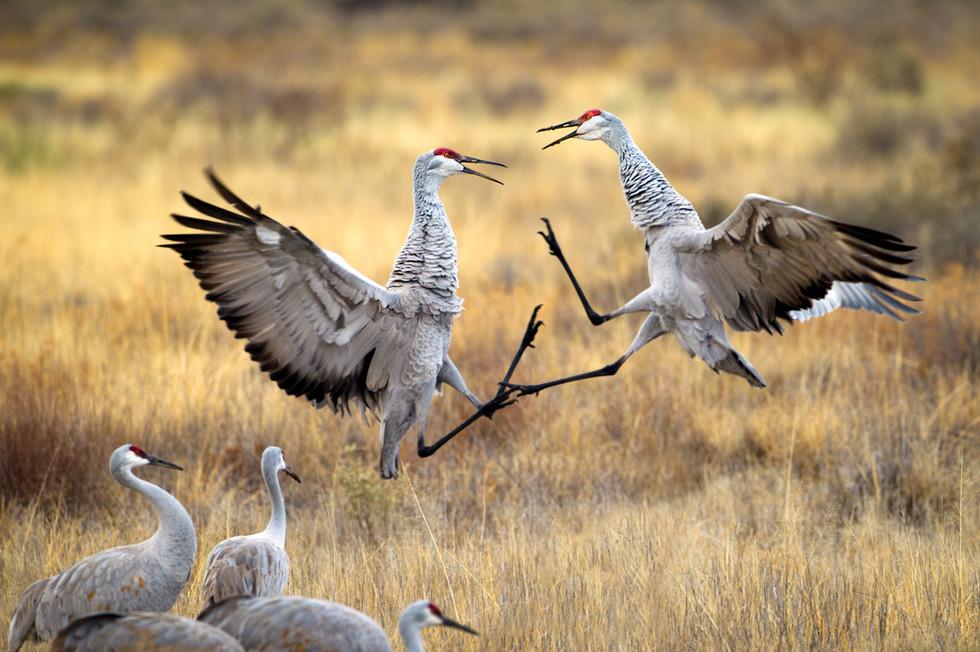 Dueling Cranes.jpg