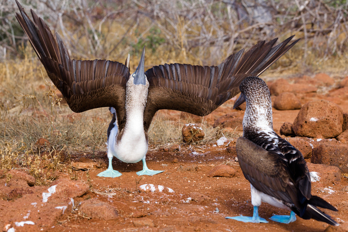 Blue Footed Boobies-2.jpg