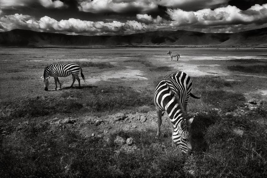 Zebras Grazing on the Ngorongoro Crater Floor.jpg