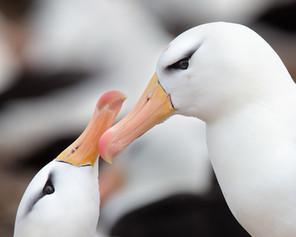 Albatross Breeding Pair.jpg