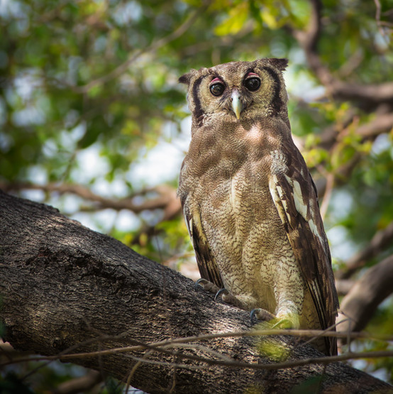 Verreaux's eagle-owl (Giant eagle-owl).jpg