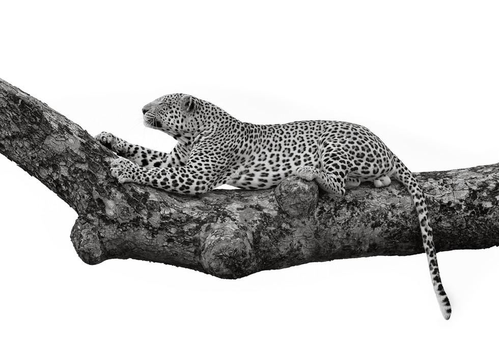 Leopard Calling.jpg