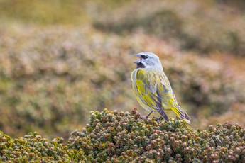 White-bridled Finch.jpg