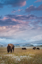 Bison grazing at sunset.jpg