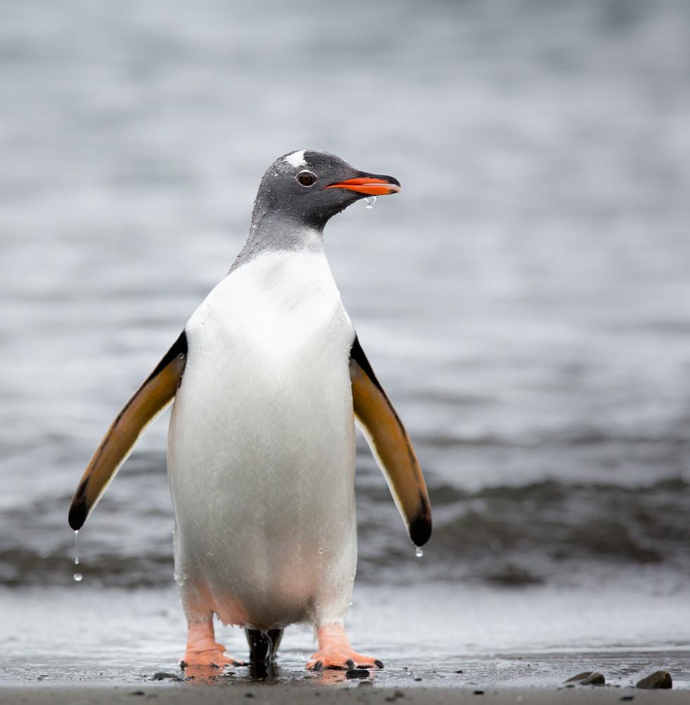 Gentoo Penguin.jpg