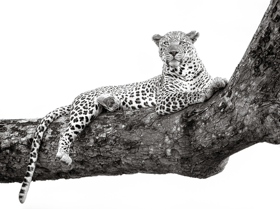 Leopard Looking Out.jpg