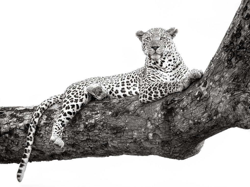 Leopard Looking Out.jpg