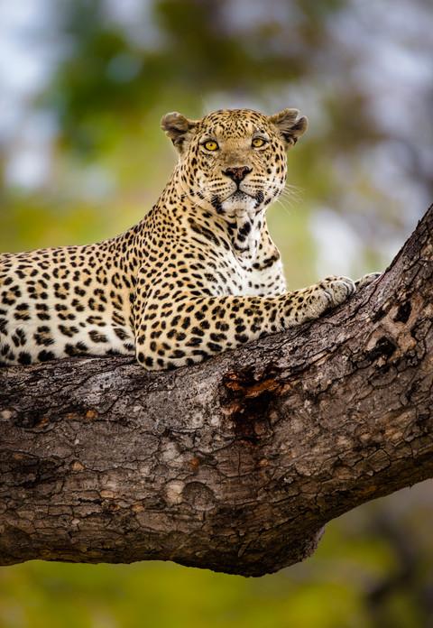 Resting Leopard.jpg