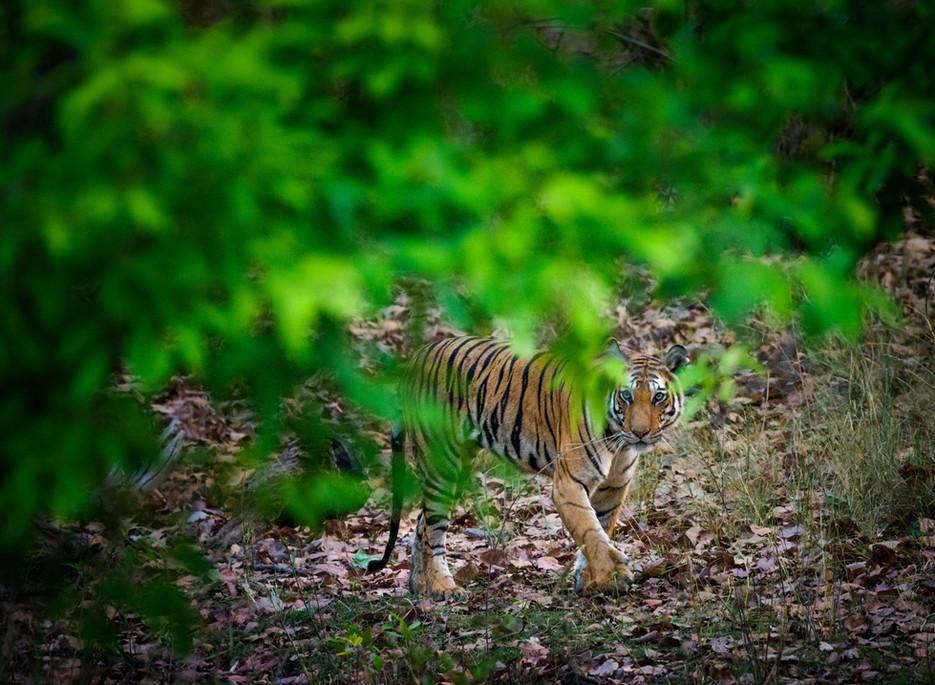 Bengal Tiger through the Leaves.jpg