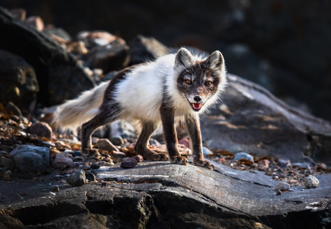 Molting Arctic Fox.jpg