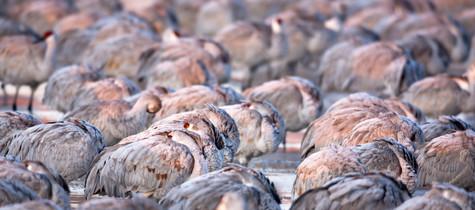 Cold Sandhill Cranes.jpg