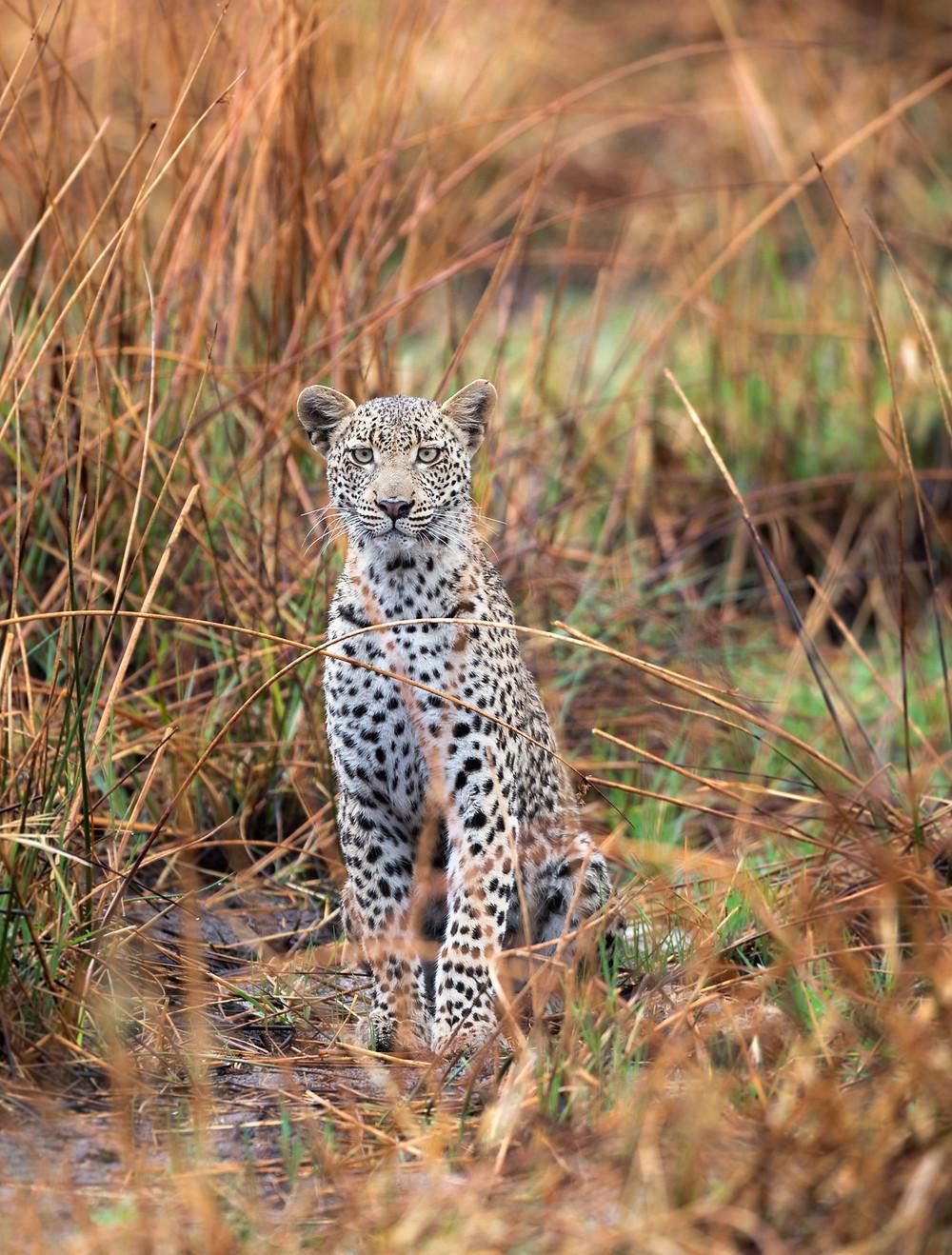 juvenile leopard in reeds