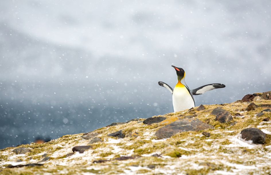 King Penguin Enjoys the Snow.jpg