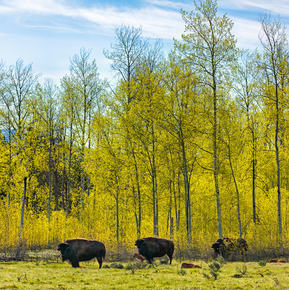 Bison with Calves.jpg