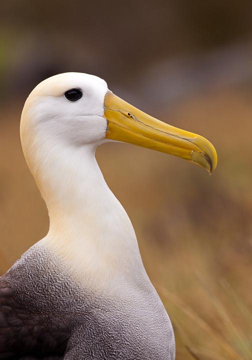 Waved Albatross-2.jpg