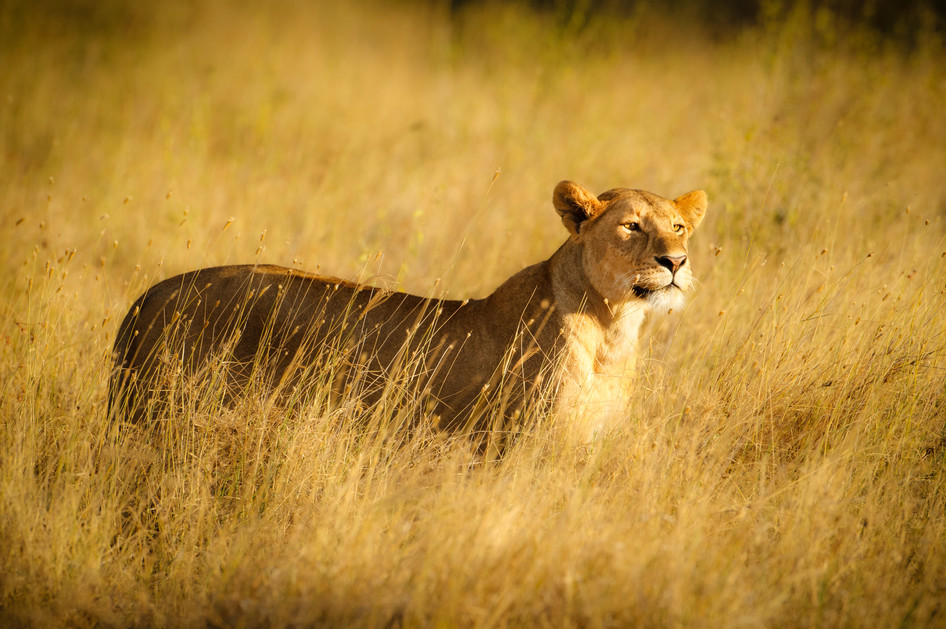 Lioness in the Grass.jpg