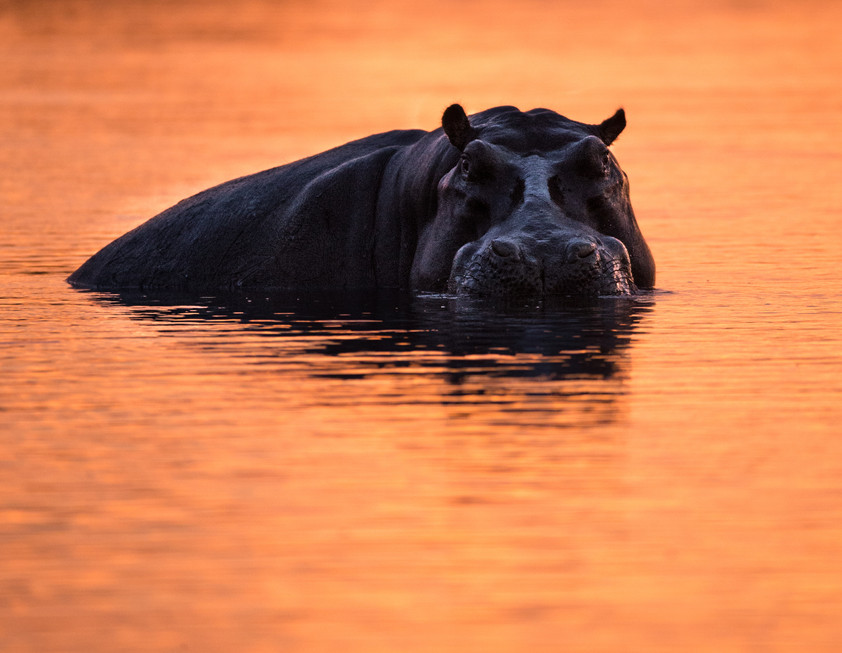 Hippo in After Glow.jpg