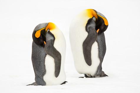 Dozing Penguins.jpg