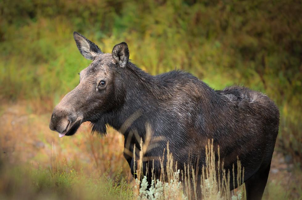 Cheeky Moose.jpg
